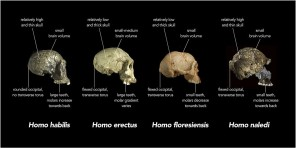 Comparison_of_skull_features_of_Homo_naledi_and_other_early_human_species