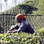 Kerala_tea_picker