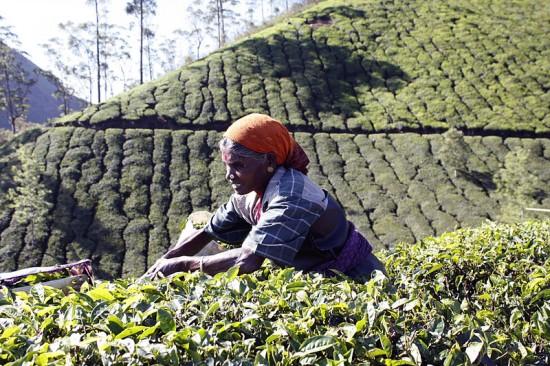 Kerala_tea_picker
