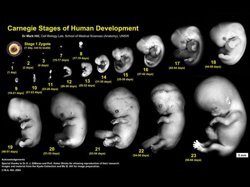 Stages of Foetus Development