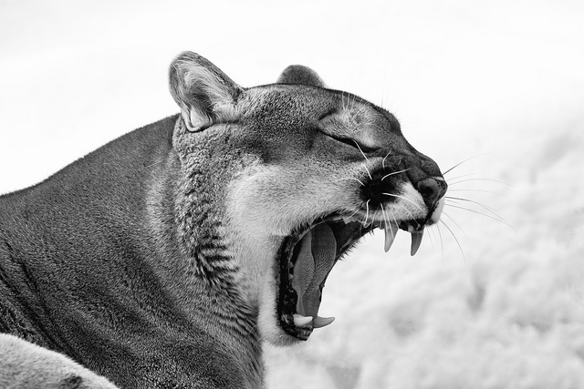 cougar yawns wide with teeth showing