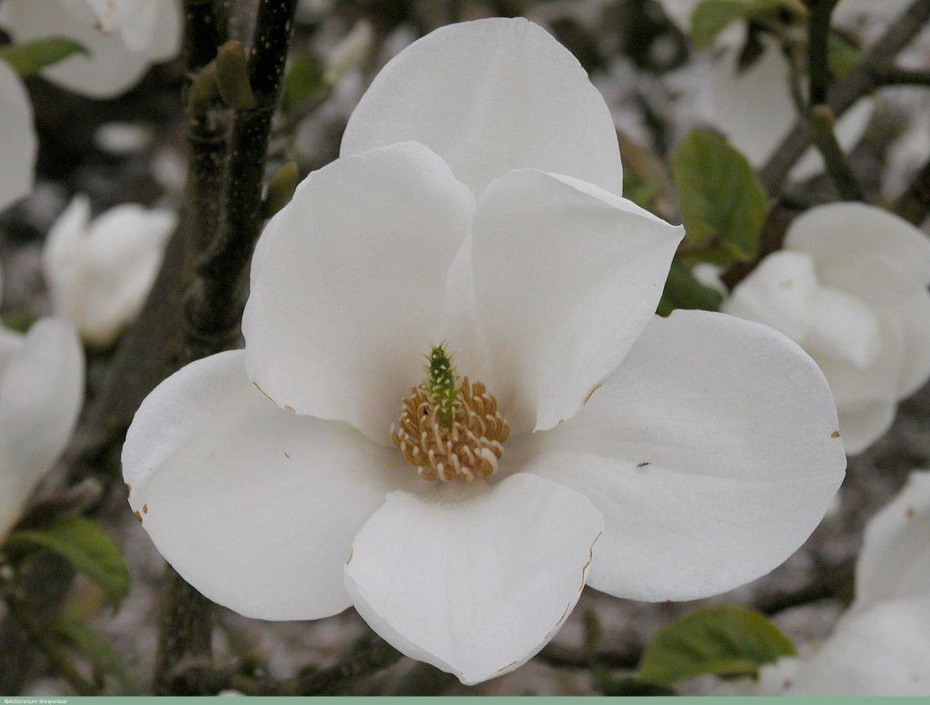magnolia__janaki_ammal__ahw96008_2579jdl_19042006_04_l