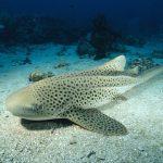 Zebra or Leopard Shark (Stegostoma fasciatum) portrait, underwater, Phuket, Adaman Sea, Thailand
