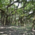 800px-Great_Banyan_Tree_-_Indian_Botanic_Garden_-_Howrah_2012-09-20_0060